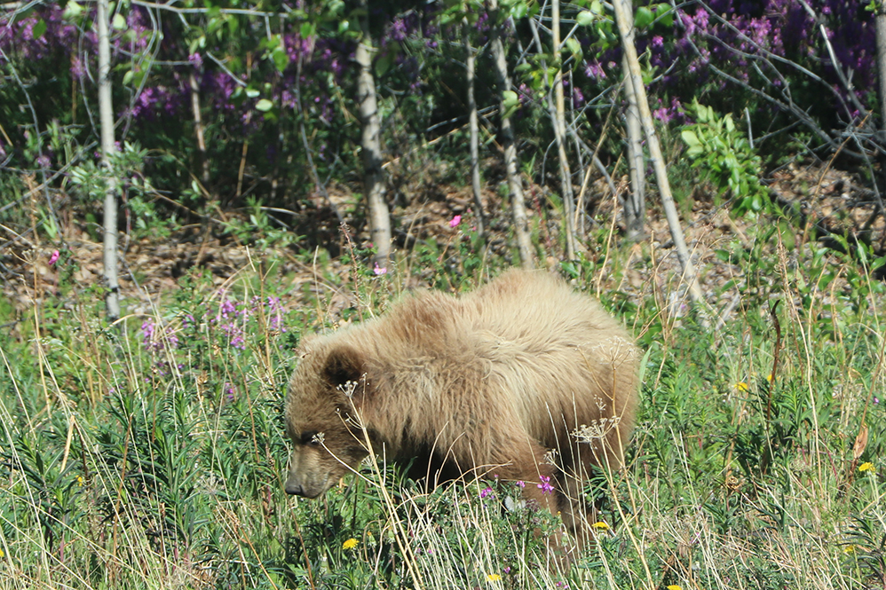 Grizzly bears are often seen foraging in meadows