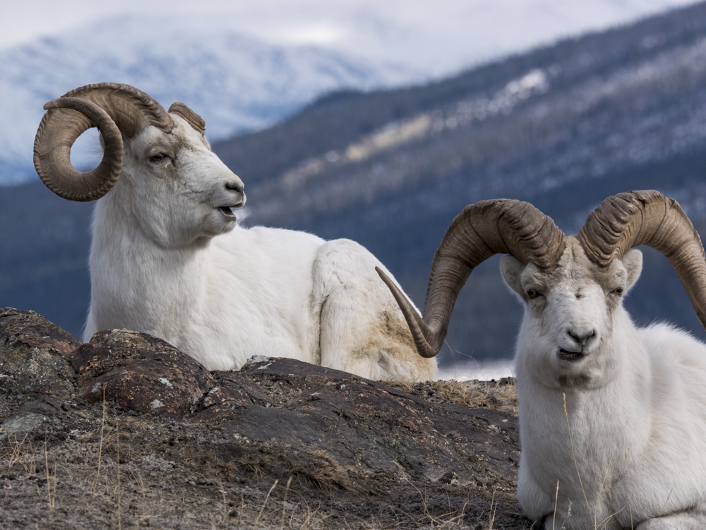 wildlife Watching in Kluane national park