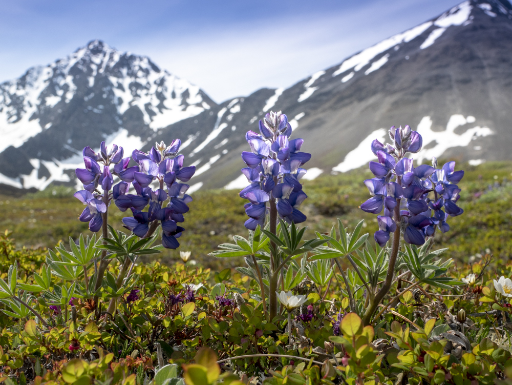 Spring in Kluane National Park